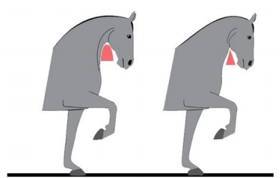 Hur ska hästen placera huvud och hals?